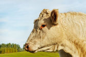 Cow on the land. — Stock Photo