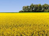Paisaje con campo de colza. — Foto de Stock
