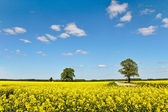 Landscape with canola field. — Foto Stock