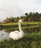 白鳥 — ストック写真