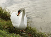 Swan. — Stock Photo