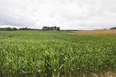 кукуруза в поле. — Стоковое фото