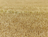 Gold field. — Stock Photo