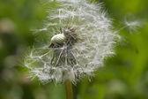 Grey dandelion with seeds. — Stock Photo