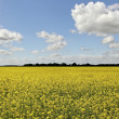 Canola field. — Stock Photo #47077155