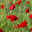 Poppies growing in a field. — Stock Photo #48397621