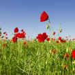 Poppies growing in a field. — Stock Photo #48397651