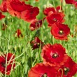 Red poppies are growing. — Stock Photo #48397807