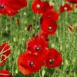 Poppies growing in a field. — Stock Photo #48399105