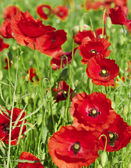 Red poppies are growing. — Stock Photo