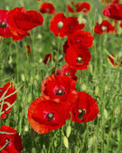 Poppies growing in a field. — Stock Photo