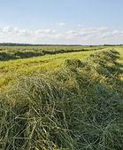 Mowed hay. — Stock Photo