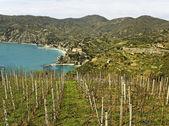 Vineyard at the sea. — Stock Photo