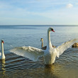 Bid swan protecting his family. — Stock Photo #5027843