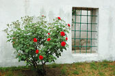 Old window and red rose bush in Bakhchisaray Khan Palace,Crimea, — Stock Photo