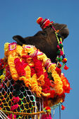 Decorated camel at Pushkar fair in Thar desert,Rajasthan,India — Stock Photo
