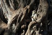 (hanuman) langur bebek hindistan hint inciri ağacı üzerinde oturan gri — Stok fotoğraf