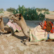 Stock Photo: Two arabian camels at Thar desert safari in Rajastan,India