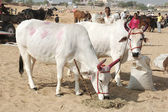 Two holy cows with panted pink horns at camel fair,Pushkar,India — Stock Photo