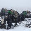 Yak caravan going from Everest Base Camp in blizzard, Nepal — Stock Photo