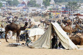 Tribal people are preparing to cattle fair in nomadic camp,Pushkar ,India — Stock Photo