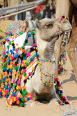 Lyinng colourful decorated camel in nomadic camp,Pusjkar,India — Stock Photo