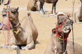 Chewing dromedary camel in nomadic camp at cattle fair holiday,India — Stock Photo