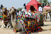 Dromedary camels taking part at famous cattle fair holiday,Pushkar,India — Stock Photo