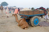 Arabian camel baby in tribal nomadic camp during cattle fair,India — Stock Photo