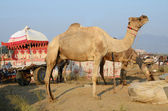 Two eating dromedaries and colourful carriage in nomadic camp,India — Stock Photo