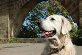 Portrait of friendly golden retriever dog — Stock Photo