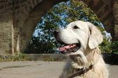 Portrait of friendly golden retriever dog — Stock Photo