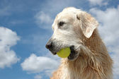 Portrait of wet golden retriever dog with yellow tennis ball — Stock Photo