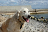 Portrait of friendly golden retriever dog at the beach — Stock Photo