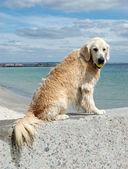 Portrait of wet golden retriever dog at the beach — Stock Photo