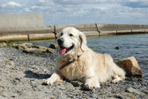 Portrait of friendly golden retriever dog at the beach at sunny day — Stock Photo
