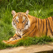 Tiger on the grass — Stock Photo