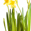 Yellow daffodils with water drops isolated on white — Stock Photo