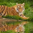 Foto Stock: Tiger near water