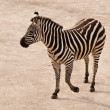 Dancing zebra — Stock Photo