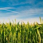 Wheat field on blue sky background — Stock Photo
