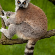 Close-up of a cute ring-tailed lemur — ストック写真