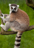 Close-up of a cute ring-tailed lemur — Stock Photo