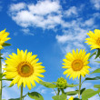 Sunflowers — Stock Photo #13733702