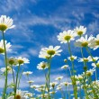 White daisies - Stockfoto