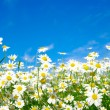 White daisies — Stock Photo #18604913