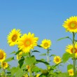 Sunflowers — Stock Photo #18605951