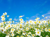 White daisies — Stock Photo