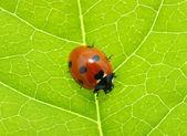 Ladybug — Foto de Stock