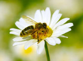 Bee on the chamomile — Stock Photo